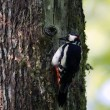 Great Spotted Woodpecker bird in nesting time — Stock Photo