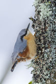 Nuthatch bird, specie sitta europea looking for food — Stock Photo