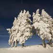Fir trees under snow in mountain summit — Stock Photo