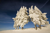 Sparren onder sneeuw in de top van de berg — Stockfoto