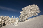 Beech tree under snow in mountain summit — Stock Photo