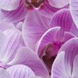 Stock Photo: Bouquet of butterfly orchid flower in close-up
