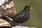 European blackbird male in winter — Stockfoto