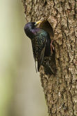 Common Starling bird in nesting time — Stock Photo