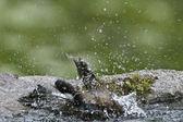 Bird eurasian Jay specie Garrulus glandarius taking bath in a pound — Stock Photo