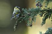 Eurasian Siskin bird specie Carduelis spinus in France — Stock Photo