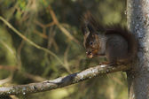 Red squirrel eating nuts specie Sciurus vulgaris wintertime in France — Stock Photo