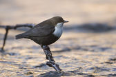 White-throated dipper, river bird in day sunset — Stock Photo