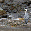 Grey Heron aquatic bird in middle of river specie Ardea cinerea , France — Stock Photo