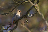 Bohemian Waxwing bird specie Bombycilla garrulus in migration in France on branch — Stock Photo