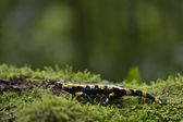 Speckled salamander Amphibia specie Salamandra salamandra — Stock Photo