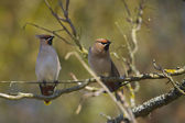 Couple of Bohemian Waxwing bird specie Bombycilla garrulus in migration in France on branch — Stock Photo