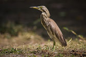 Close-up of Indian pond heron,specie Ardeola bacchus, Kho Adang, Thailand — Stock Photo