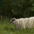 Domestic Sheep in a pasture in France — Stock Photo
