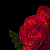 Red rose flower with dew in black background, — Stock Photo