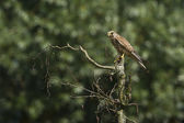 Rock kestrel (Falco tinnunculus) perched on dry branch, France — Stock Photo