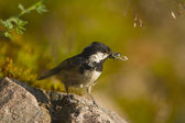 Coal tit bird specie Periparus ater in feeding time, — Stock Photo