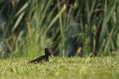 Black woodpecker specie dryocopus martius, France — Stock Photo