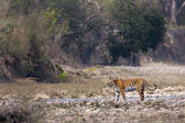 Wild Tiger specie Panthera tigris, female, in Nepal — Stock Photo