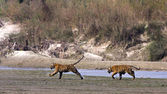 Two young Wild Tigers running in riverside in Nepal — Stock Photo