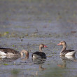 Three greylag goose bird swimming in lake — Stock Photo