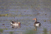 Two greylag goose bird, swimming in lake — Stock Photo