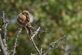 Common kestrel hawk specie Falco tinnunculus — Stock Photo