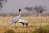 Couple of Sarus Crane bird in Teraï , Nepal — Stock Photo
