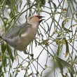Stock Photo: BohemiWaxwing bird eating Mistletoe fruit