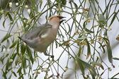 Bohemian Waxwing bird eating Mistletoe fruit — Stock Photo
