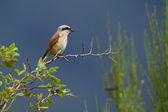 Red-backed shrike bird male — Stock Photo