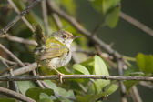 Common tailorbird specie Orthotomus sutorius in Nepal — Stock Photo