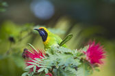 Golden-fronted leafbird in red powder puff tree — Stock Photo