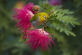 Oriental white-eye bird in red powder buff flowers — Stock Photo