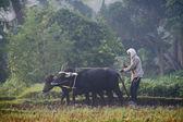 человек тару, вспашка с ox корзину — Стоковое фото
