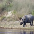Постер, плакат: Greater one horned rhinoceros in riverside in Nepal