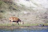 Hog deer eating in riverbank — Stock Photo