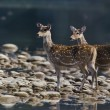 Two spotted deer in middle of river — Stock Photo #40325015