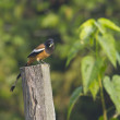 Rufous treepie bird eating grasshopper — Stock Photo #40328271