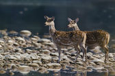 Two spotted deer in middle of river — Stock Photo