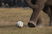 Elephant football game — Stock Photo
