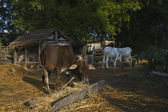 Cattle in traditional farm in Nepal — Stock Photo