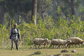Nepali shepherd guard sheeps in terai, Nepal — Stock Photo