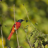 Long-tailed minivet bird male in Nepal — Stock Photo