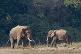 Two wild Asian Elephant in Bardia, Nepal — Stock Photo