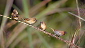 Scaly-breasted munia bird family in Nepal — Stock Photo