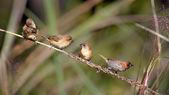 Scaly-breasted munia bird family in Nepal — Stock Photo