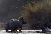 Greater One-horned Rhinoceros in Bardia, Nepal — Stock Photo