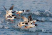 Common merganser water birds in Bardia, Nepal — Stock Photo