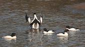 Common merganser water birds in Bardia, Nepal — Stock Photo